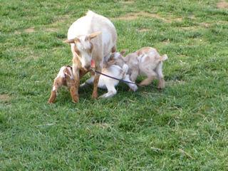3匹子ヤギ