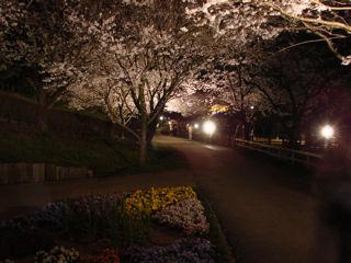 牧場内の桜