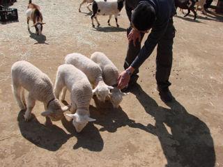 子羊いっぱい