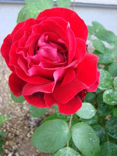 名もなき赤薔薇