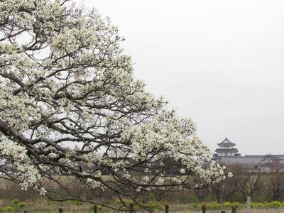 コブシと関宿城