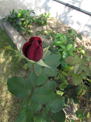 11月のバラ