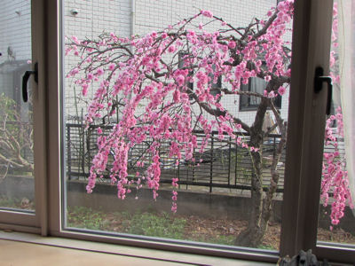 4月上旬の花桃