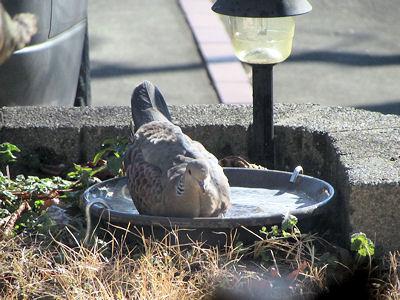 キジバトさんの水浴び