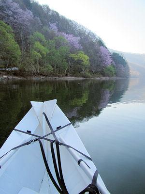 桧原湖東側の桜