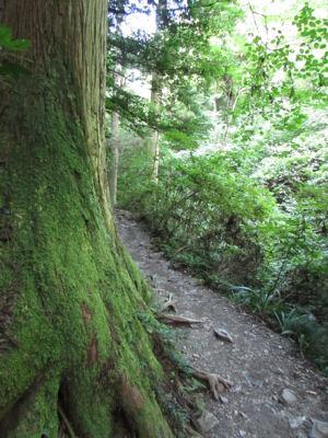 大きな杉はコケまみれ