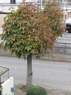 街路樹のトチノキ