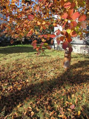 ナツツバキの紅葉